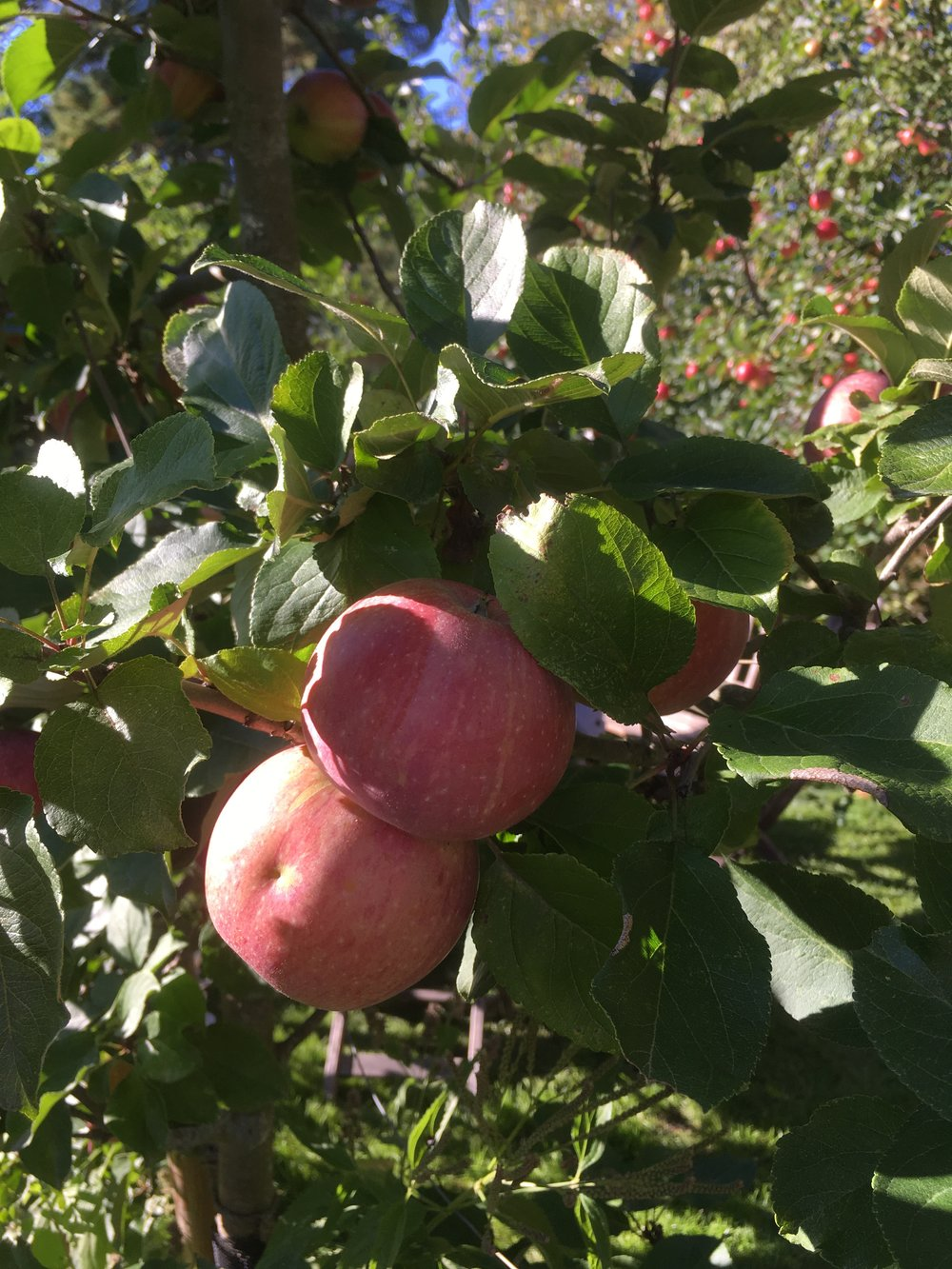 Apples growing at the cake stop. More about this later!