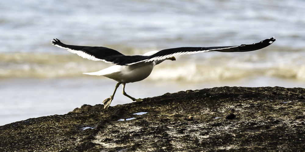 Sea gull taking off, near the Cape of Good Hope, South Africa