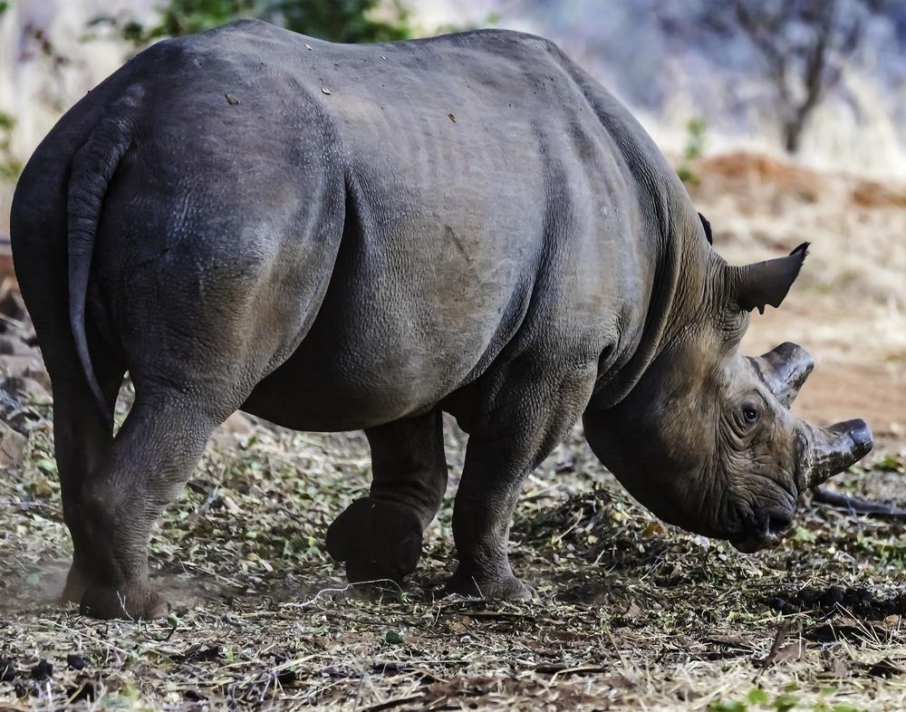 Black Rhino in Botswana
