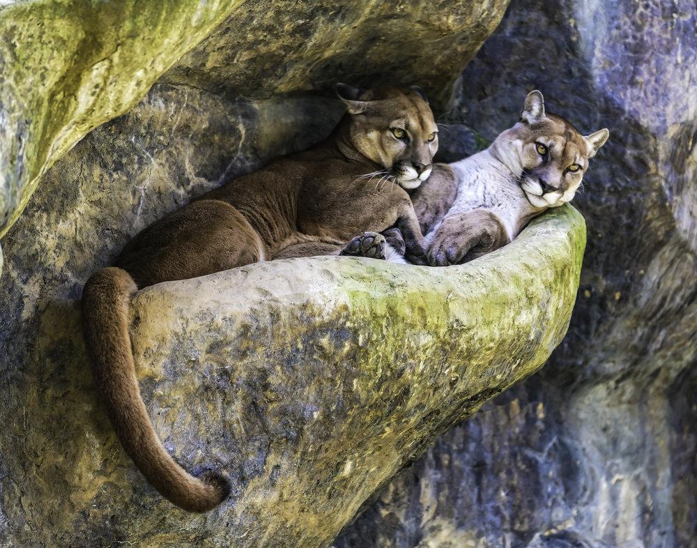 Pair of Pumas, LaPaz Waterfall Gardens, Costa Rica