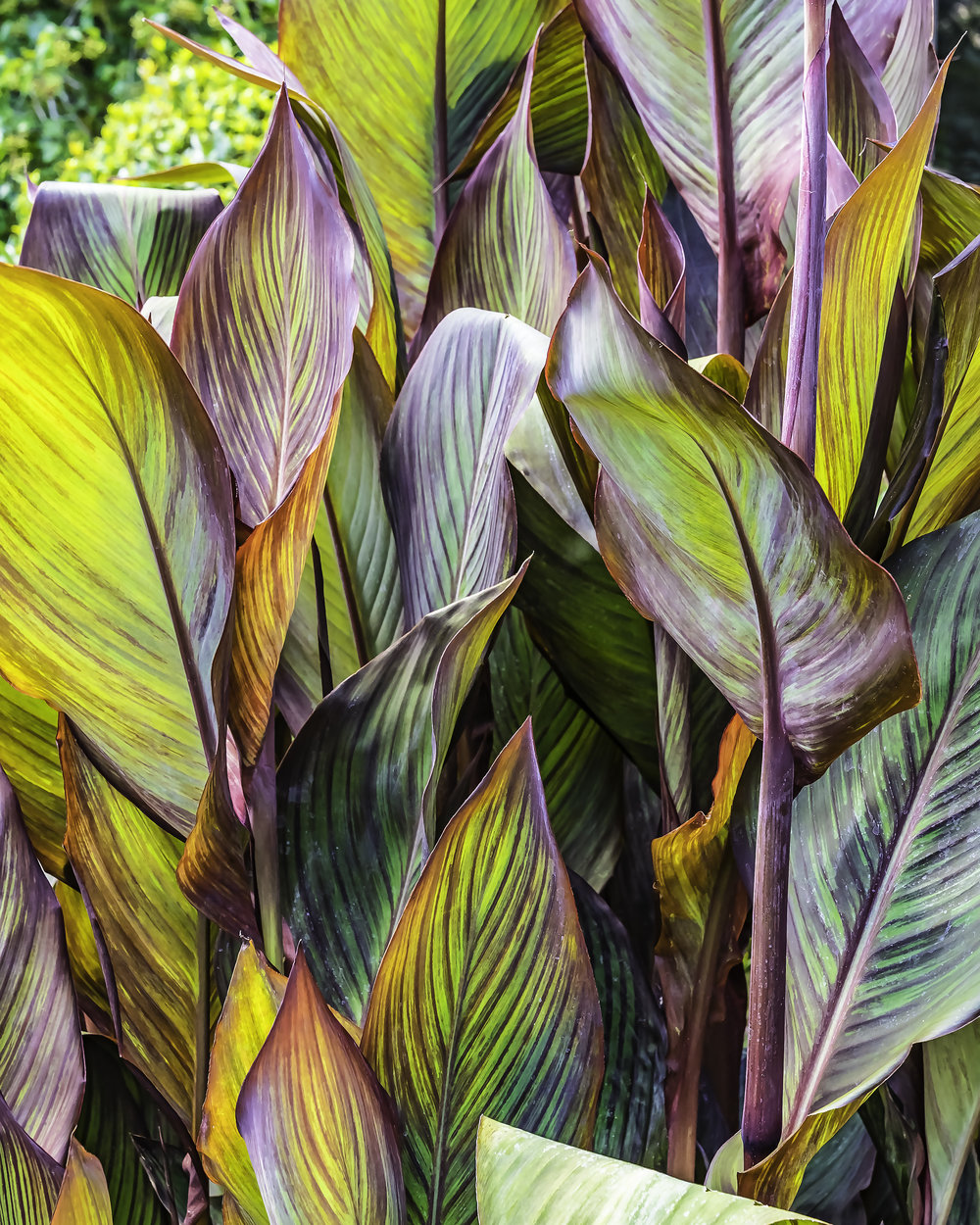 A Riot of Canna Lilly Leaves