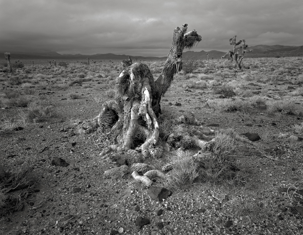 Joshua Tree, Lee Flat, Death Valley