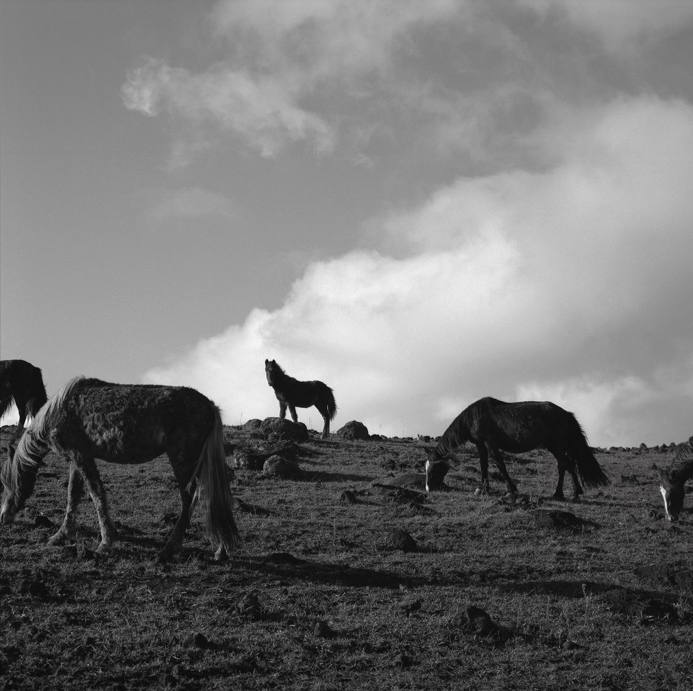 Horses, Easter Island