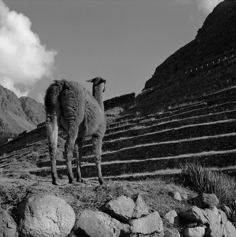 Llama, Patallacta, Peru