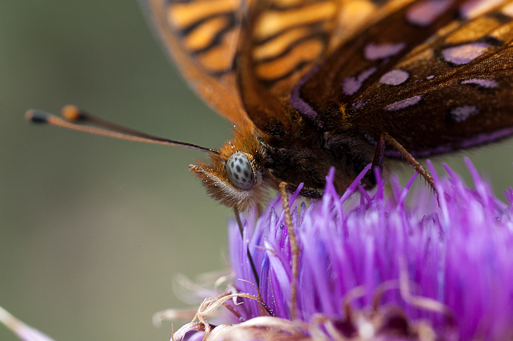 Butterfly in the thistle.jpg