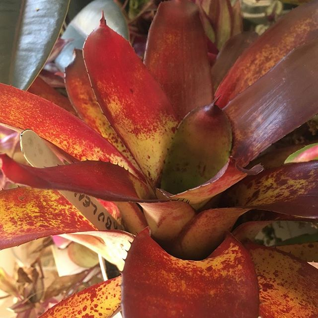Bringing in some broms for the night. Roommates are gonna be pissed they're all over the counter. #bromeliad #nofilter #plant #plantporn #neoregelia