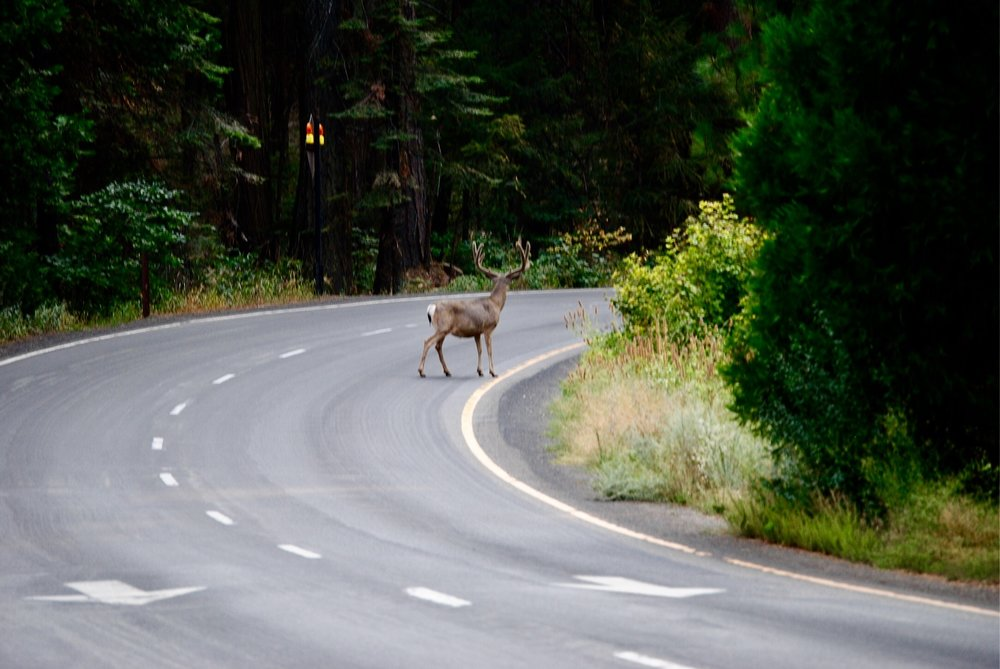 A buck in velvet, crossing the road near El Capitan. Yosemite Valley, CA. August, 2017.