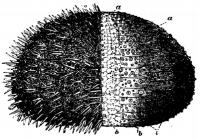 Sea_urchin.png