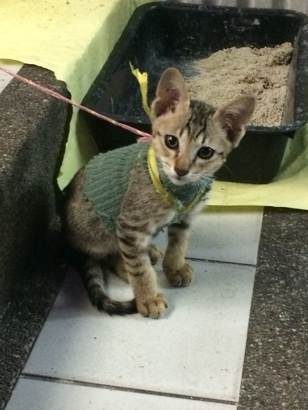 Who leashes a kitten?! Cute sweater at least. Bangkok, Thailand.