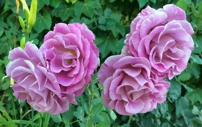 dusty_pink_roses