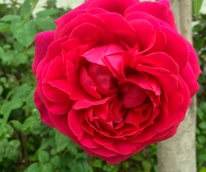 fragrant_rose