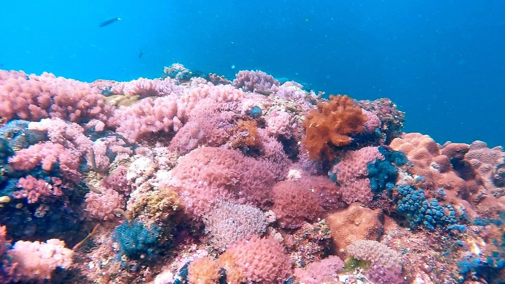 Pink Underwater Dreams, Malapascua, Philippines