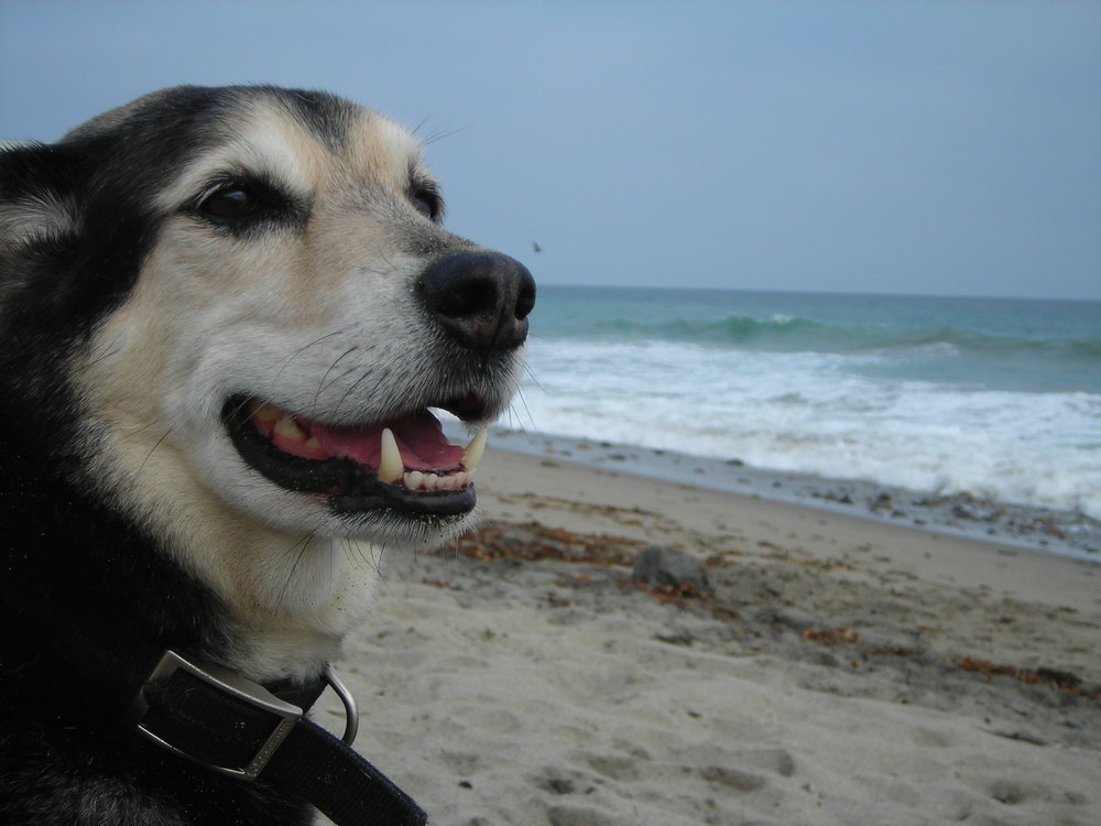 "Lucas ""The Boy"" at Silver Strand beach in Oxnard around 2005. The best dog I've ever met."