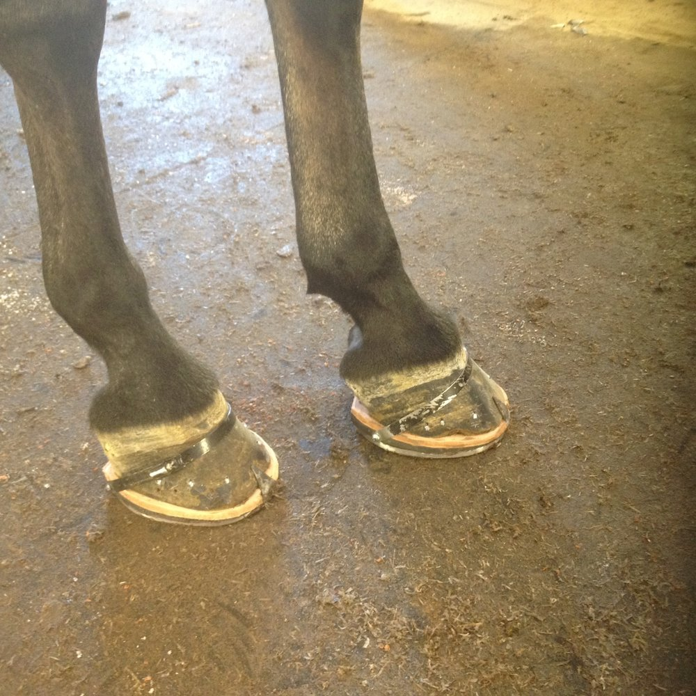 A morgan with show shoes used to make the horse's gait more animated