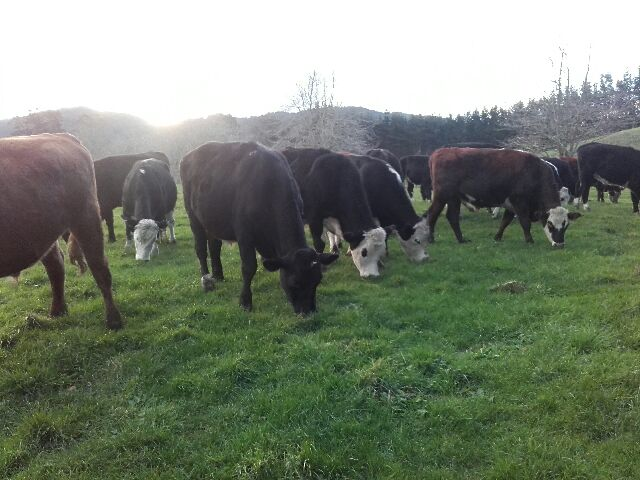 Our cattle