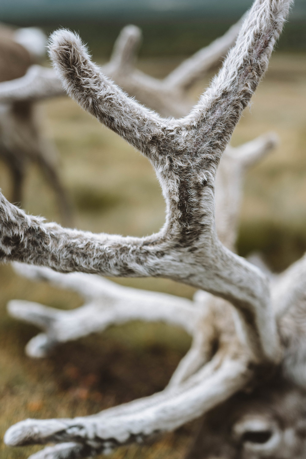 The furry texture of the antlers.