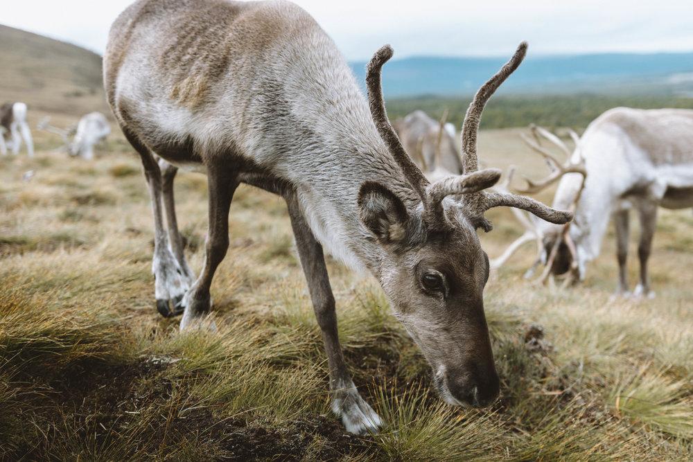 Grazing reindeer.
