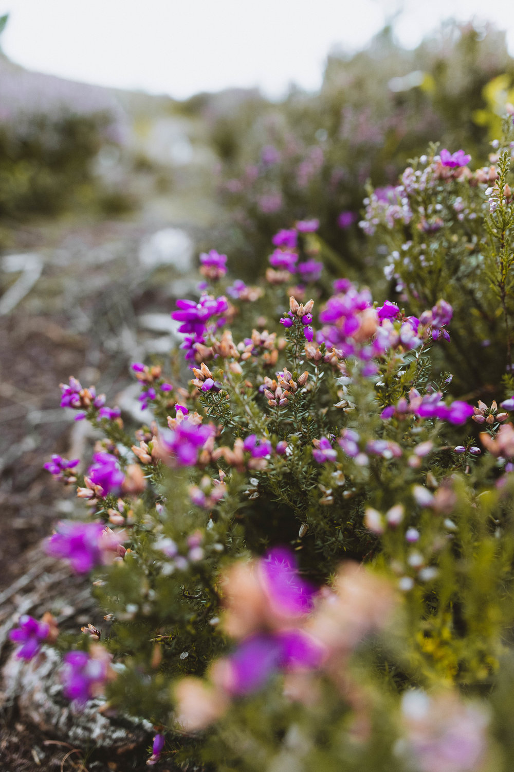 Heather alongside the trail down the mountain.
