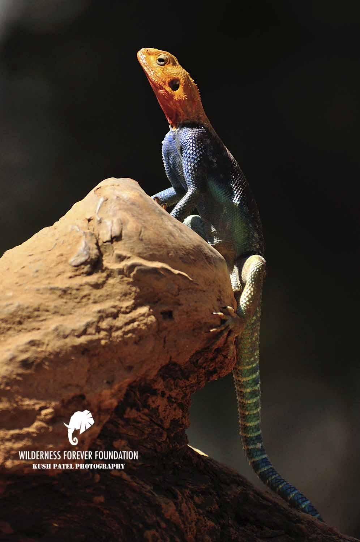 Agama lizard sunbathing