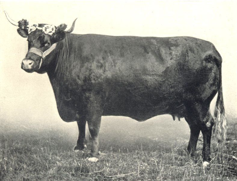 This cow is definitely not from the 1908 State Fair, but she looks pretty.
