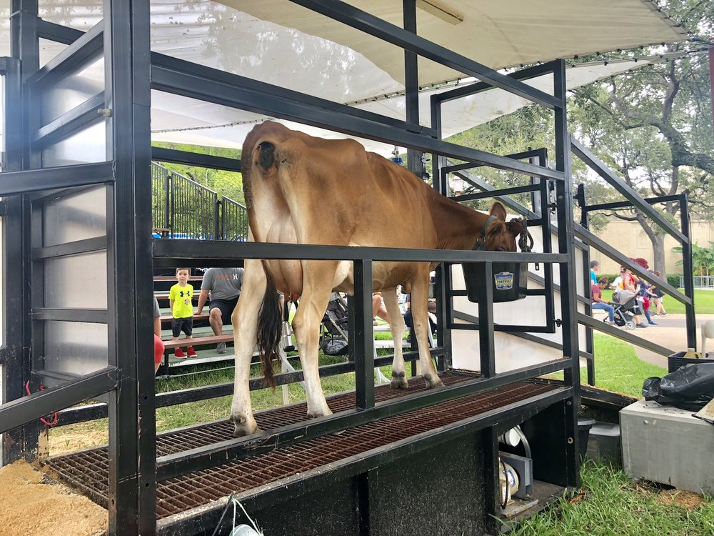 Dairy cattle are featured prominently in educational exhibits throughout the fair today.