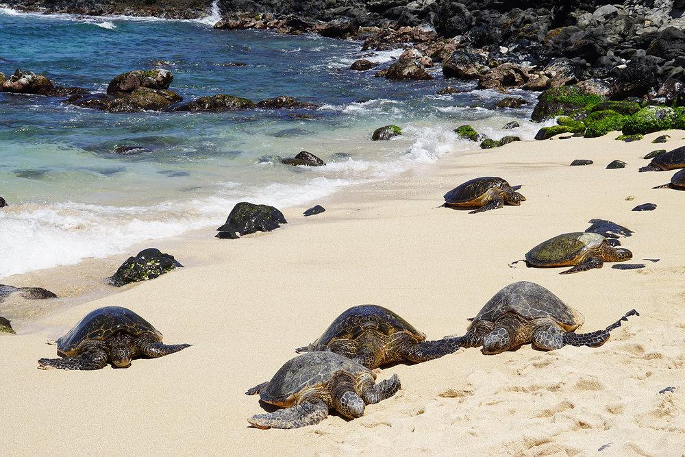 Turtles coming ashore to rest on Ho'okipa Beach, Near Pa'ia, Maui