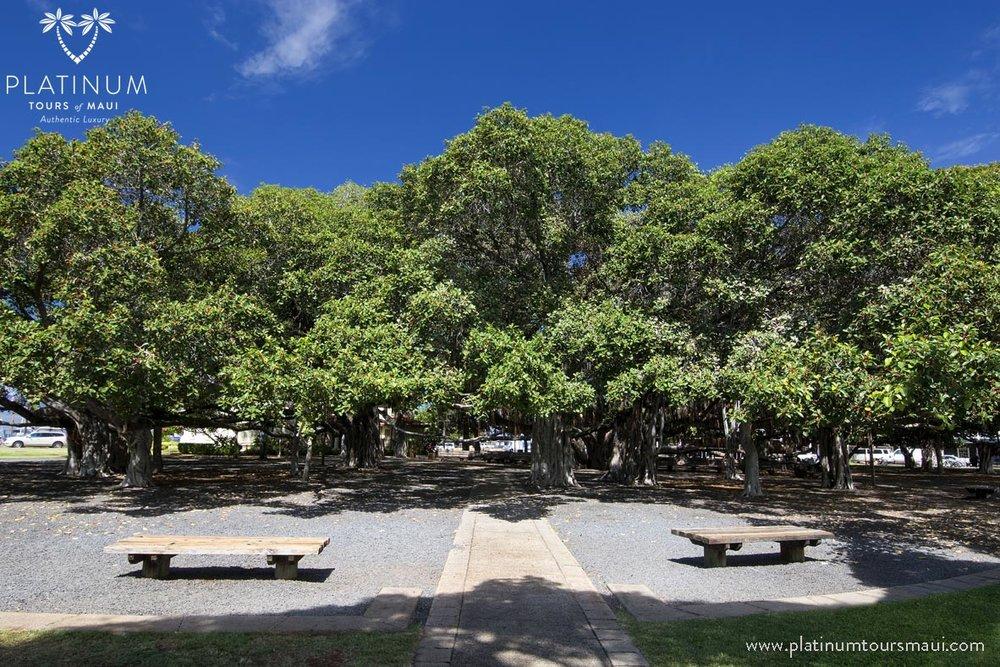 The Banyan Tree at Lahaina, Maui