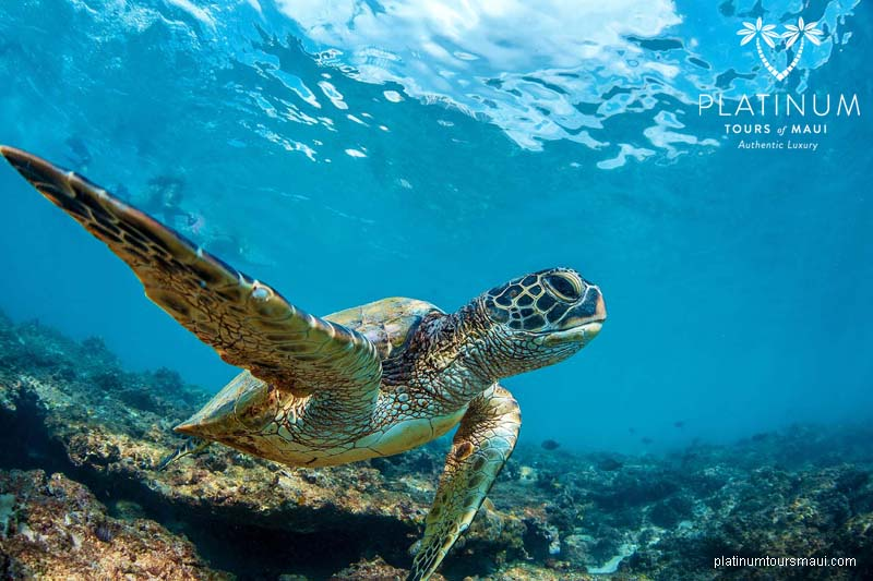 Honu - Hawaiian Green Sea Turlte