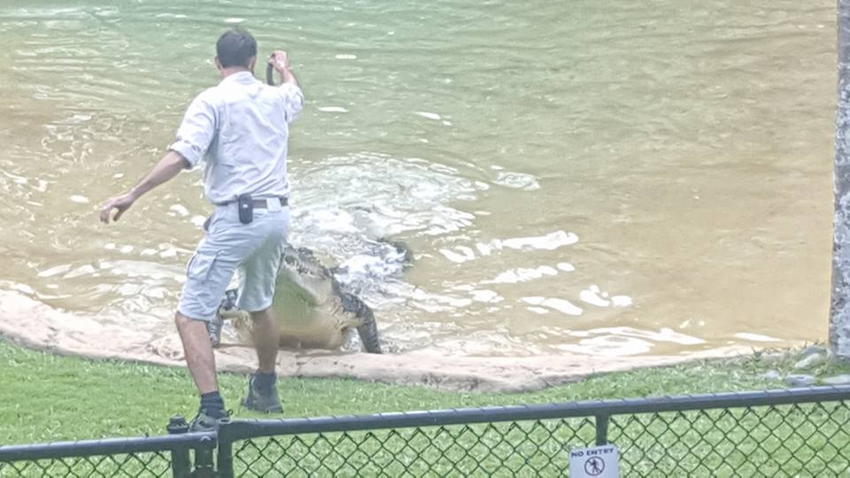 Hand feeding meat to a 15 foot croc