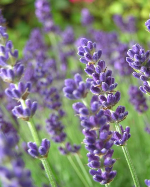 Beautiful-Lavender-flowers-34658218-511-638.jpeg