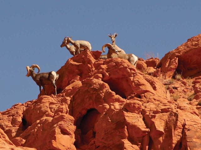 Rent ATV Las Vegas Big Horn Sheep