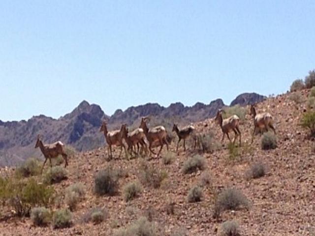 Las Vegas RZR Tours Big Horn Sheep Herd