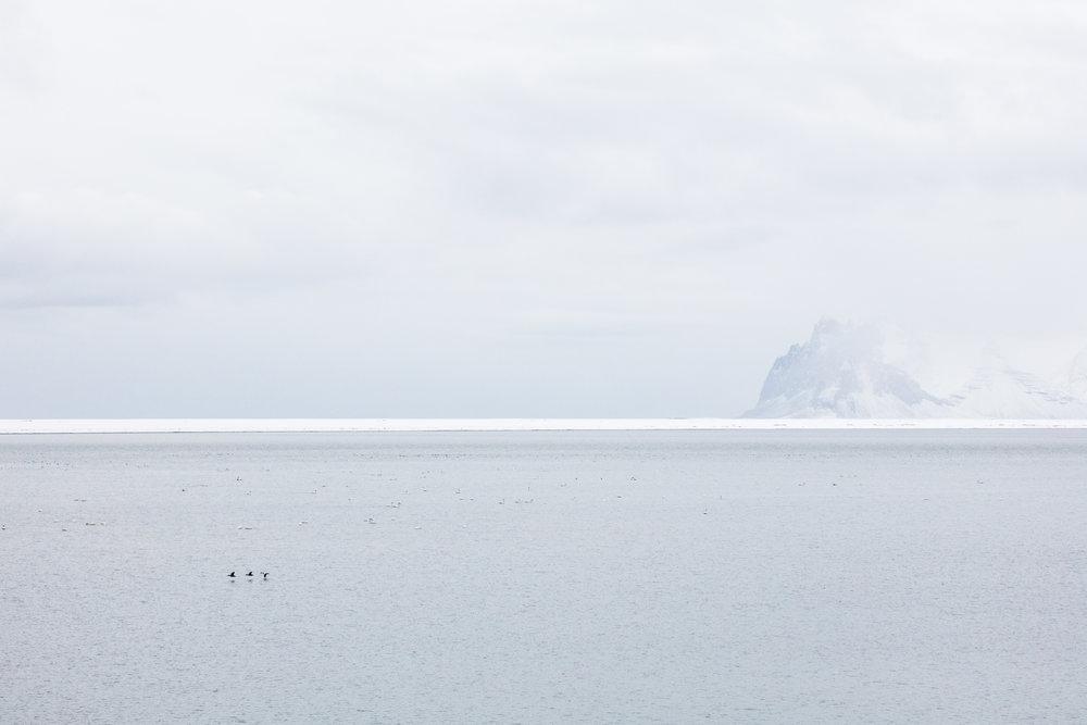 Dozens of sea birds gather in East Iceland - Faune