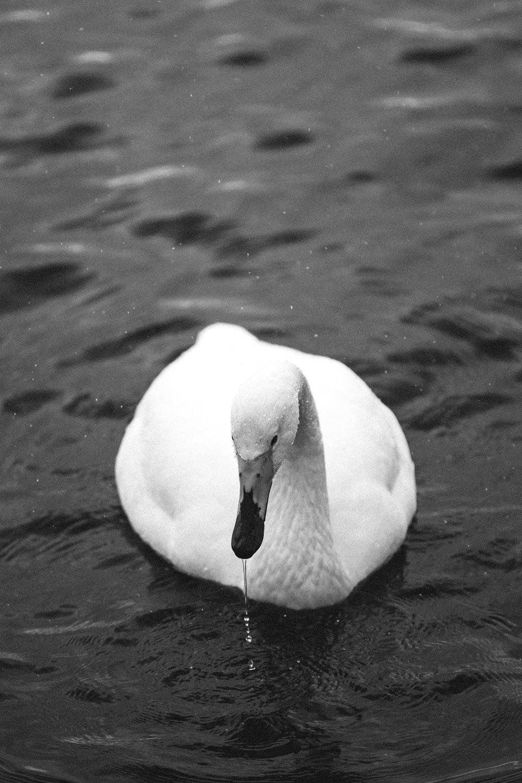 Portraits+of+a+Swan+-+Hokkaido,+Japan+|+Faune+Magazine-2.jpeg