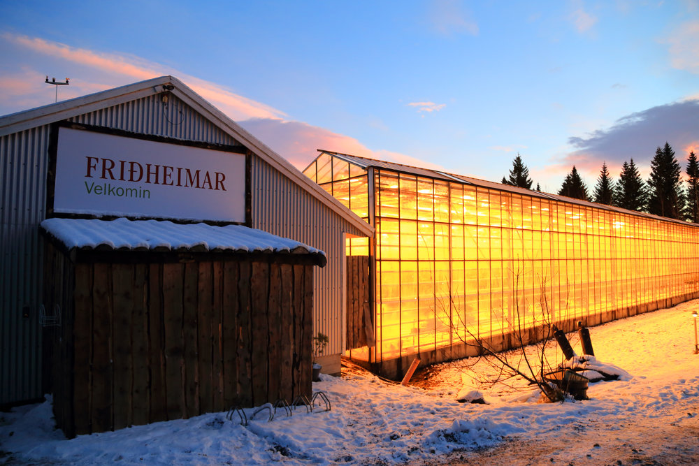 Friðheimar, Iceland's largest hydroponic tomato greenhouse operation, is temperature controlled using a nearby geothermal spring