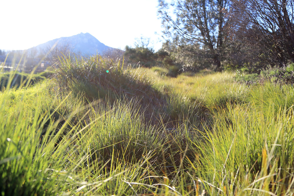 Muhlenbergia rigens provides bio-filtration and stabilization for a swale in the California Garden, while Bishops Peak overlooks
