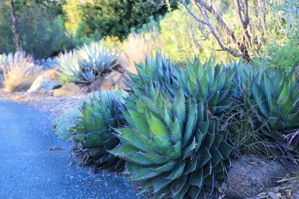 Agaves in the California Garden