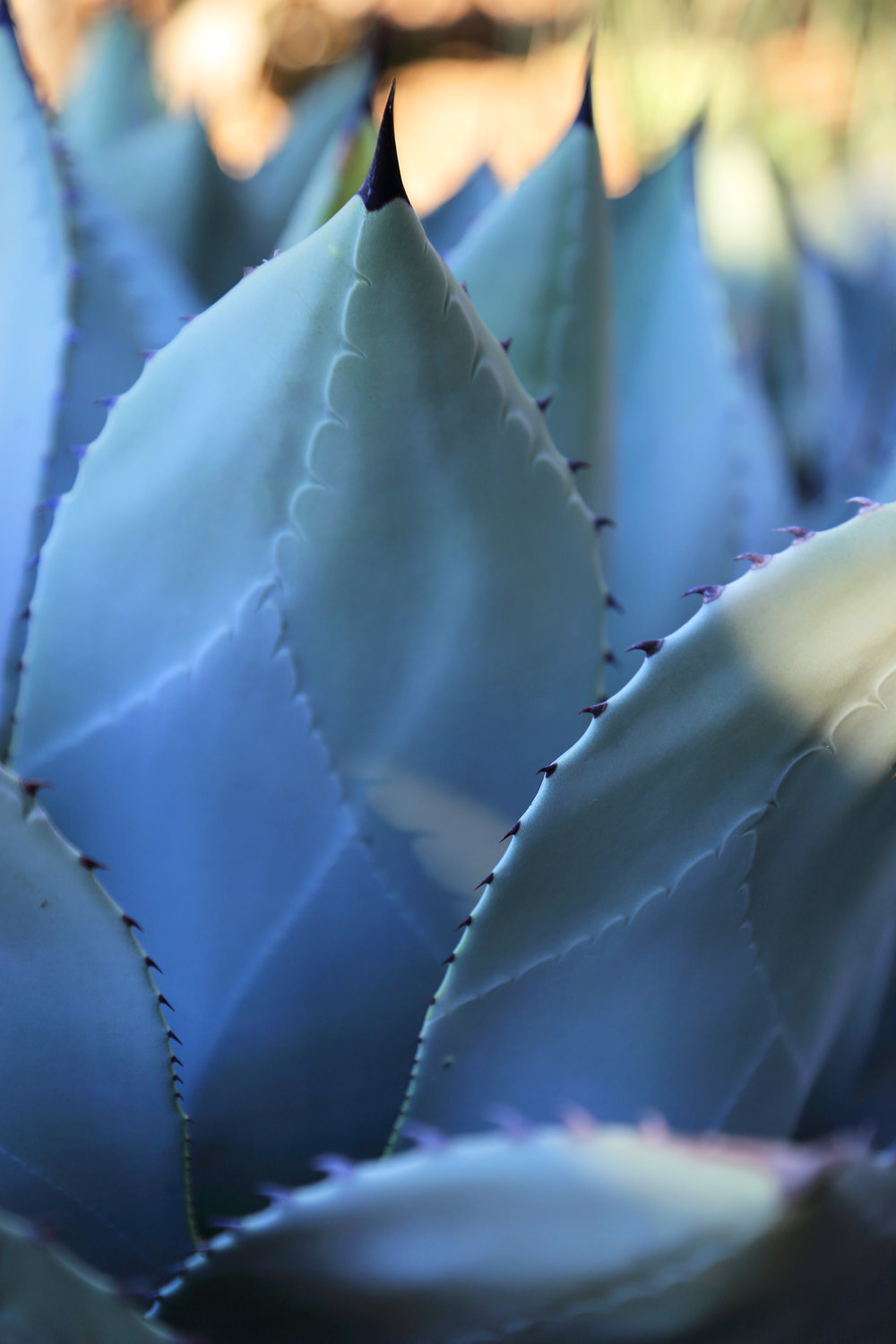 Agave blues in the Palm & Aloe Garden