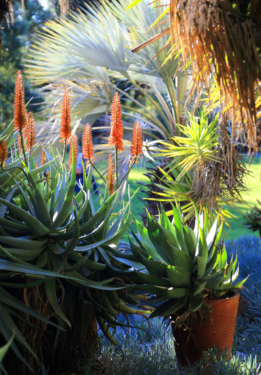 Aloes blooming among other succulents and palms