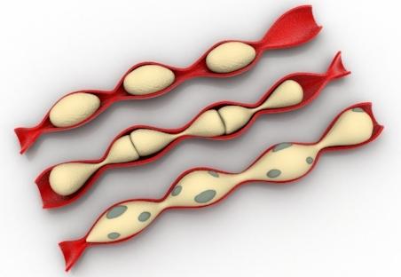 Intestine Segment