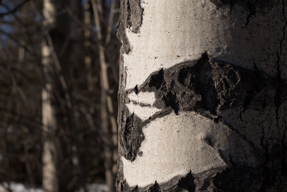 and a birch trunk detail!