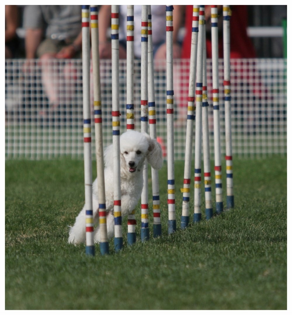 Holly doing the weave poles
