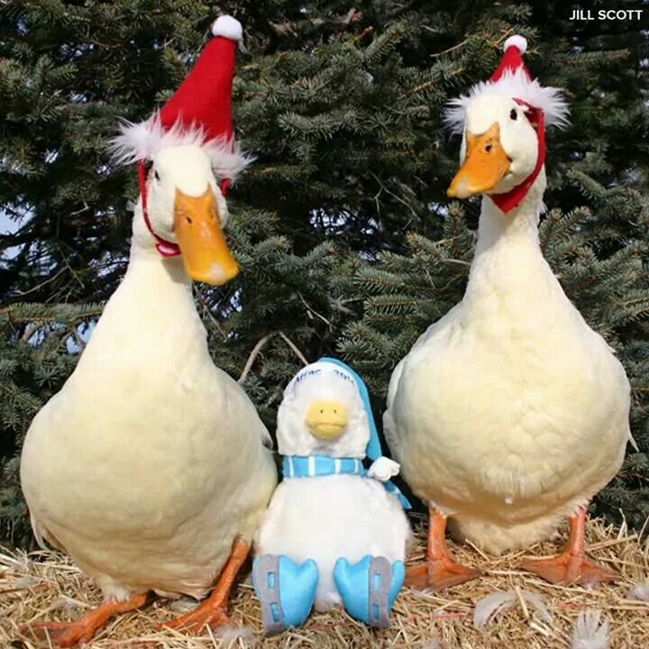 ddgs christmas break - Christmas Duck