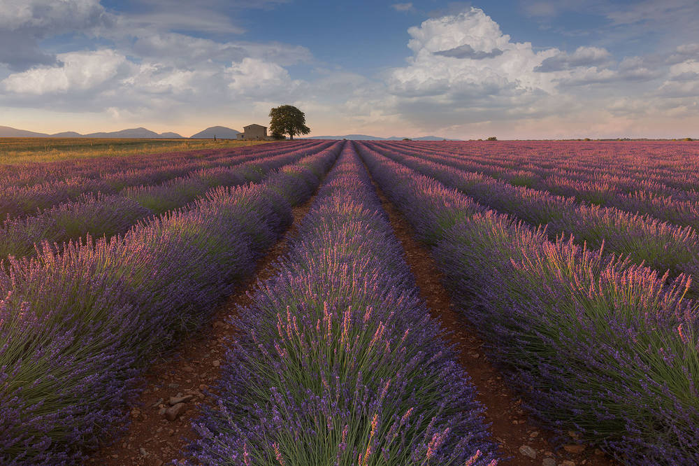 Morning sunrise in the lavender fields near Valensole.jpg