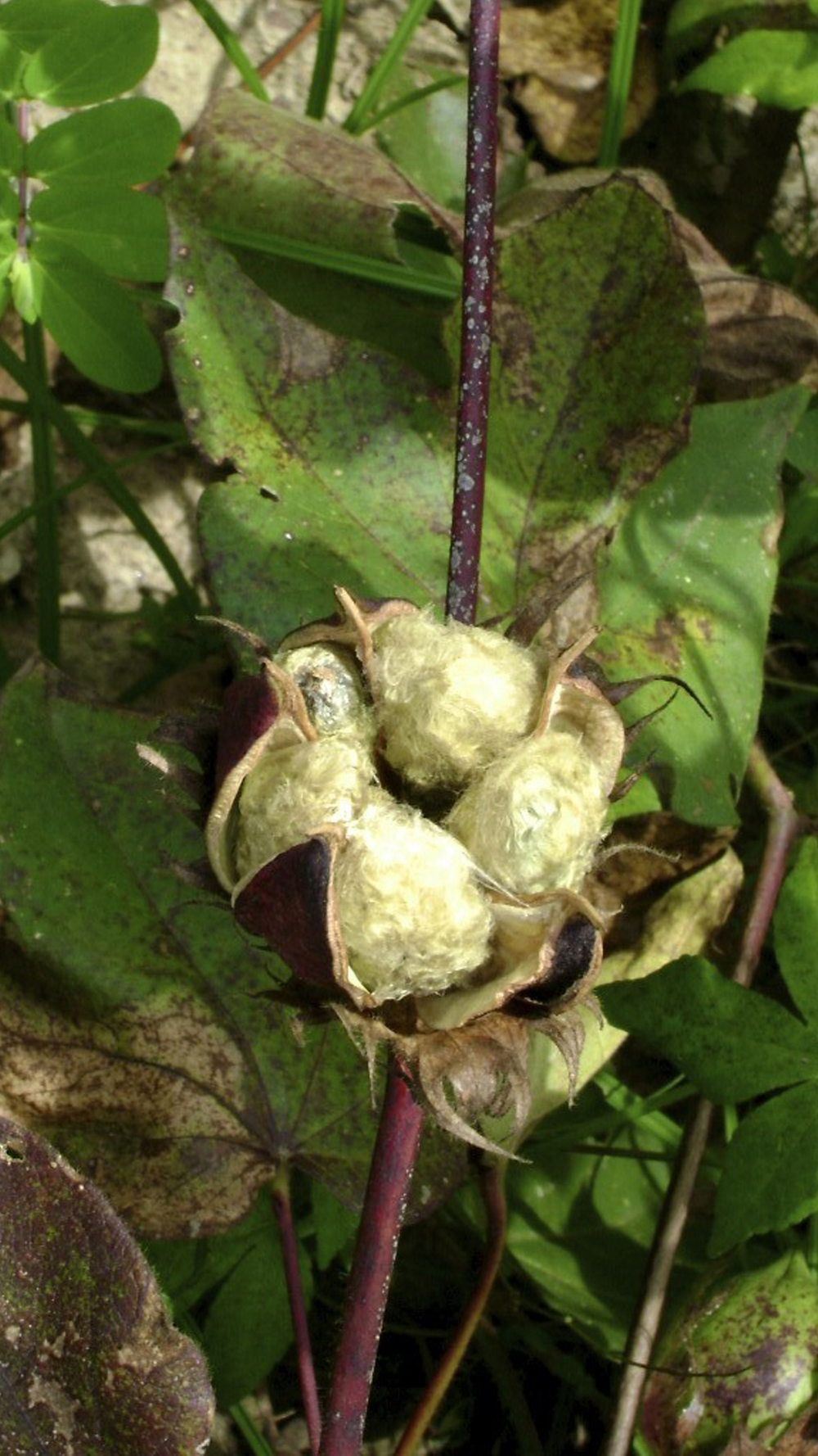 THE NATIVE COTTON PLANT