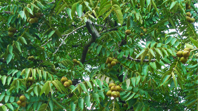 NOGAL (Juglans Neotropica)   Similar to the North American Black Walnut, this now endangered tree is found in Columbia, Ecuador and Peru. Like the walnut, its unripe husks produce a yellow dye, its ripe fruit produces red-brown dye and, if cooked in an iron pot, produces a deep black dye