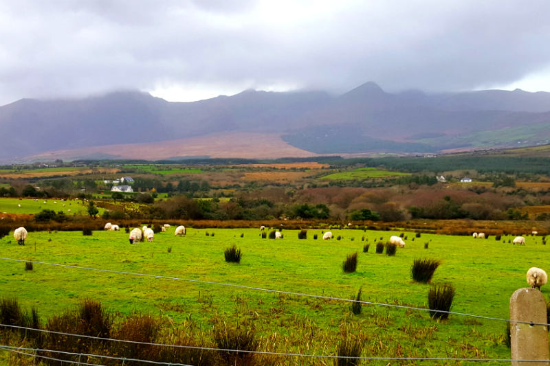 Can't get enough of the sheep and the green grass
