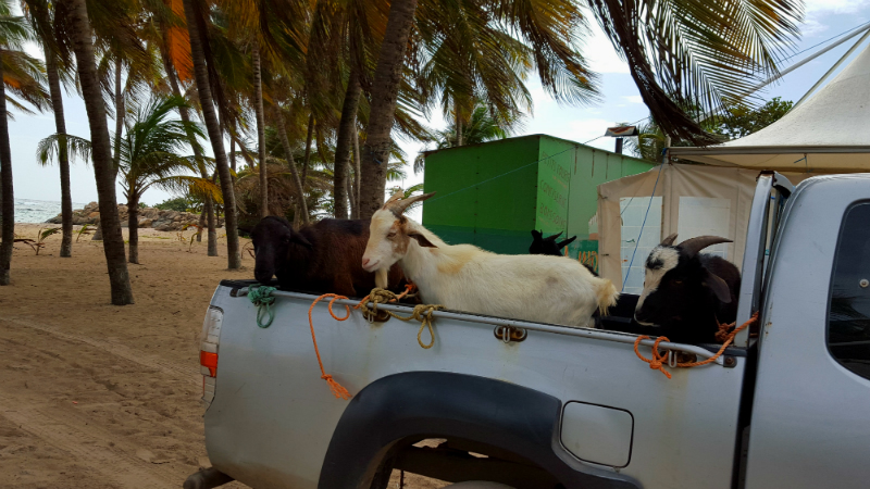 Just us and the goats on La Desirade