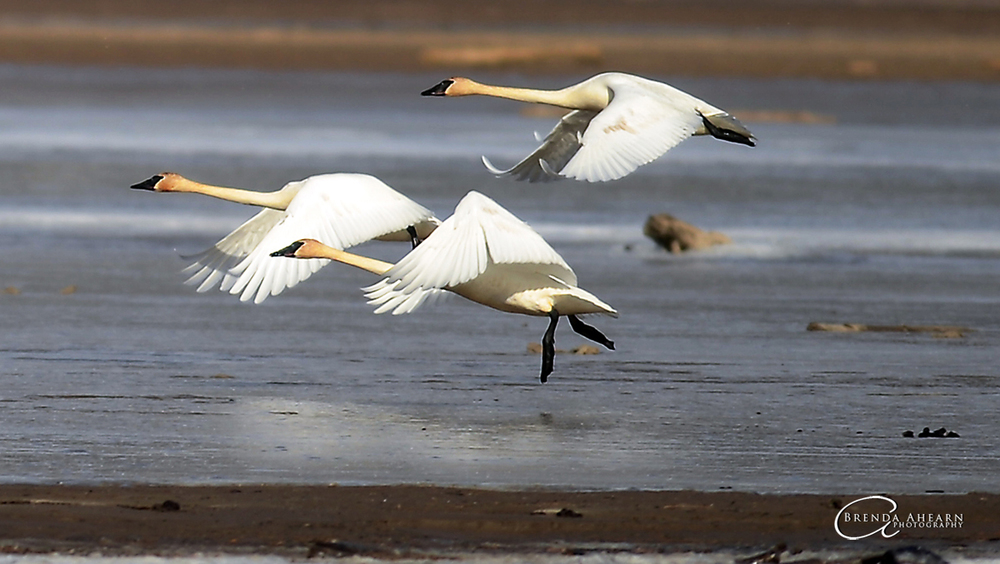 Trumpeter Swans on Flathead Lake