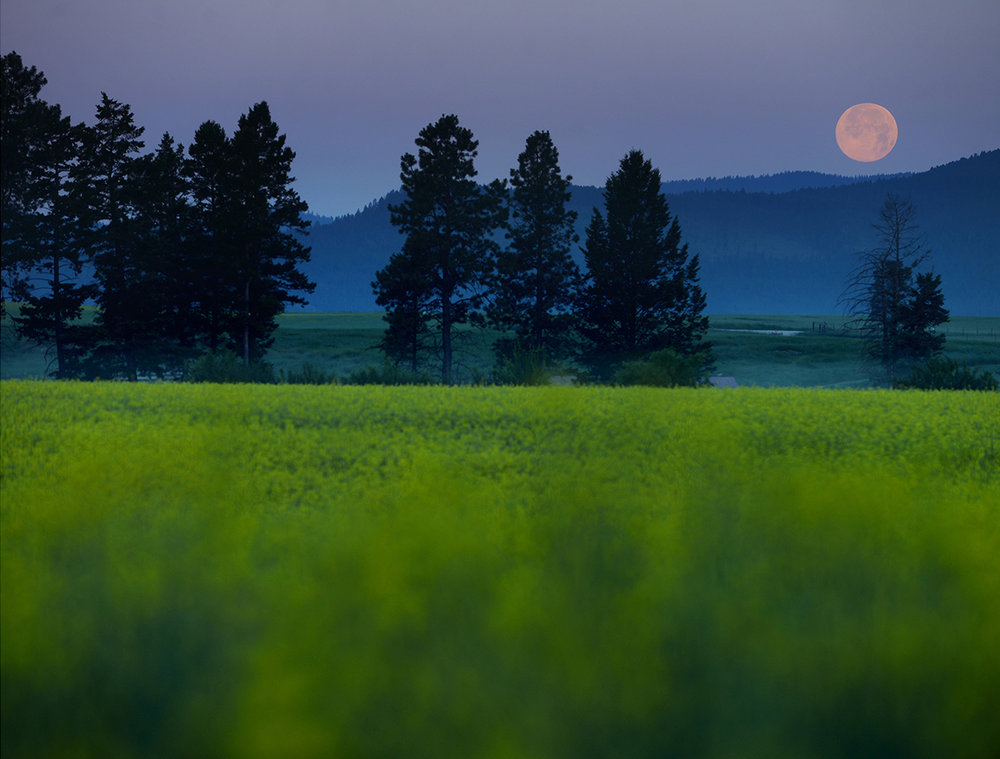 A full moon sets over a field of canola at 5:57 a.m. on Saturday, July 12, in West Valley, north of Kalispell. (7/12/14)